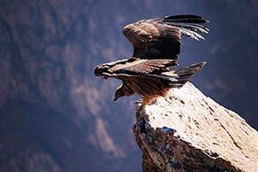 Cañon del Colca Condores